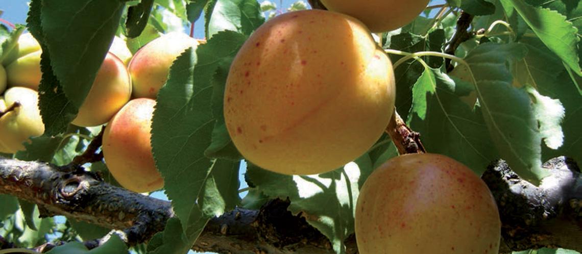 marche-abricots