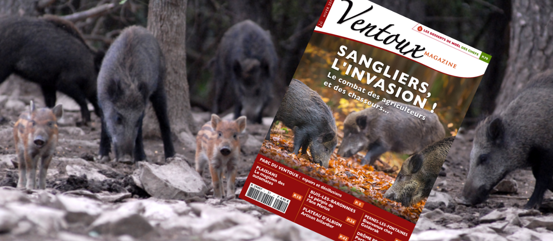 Vaucluse : Le sanglier (bientôt) classé «espèce nuisible» dans 75 communes du département