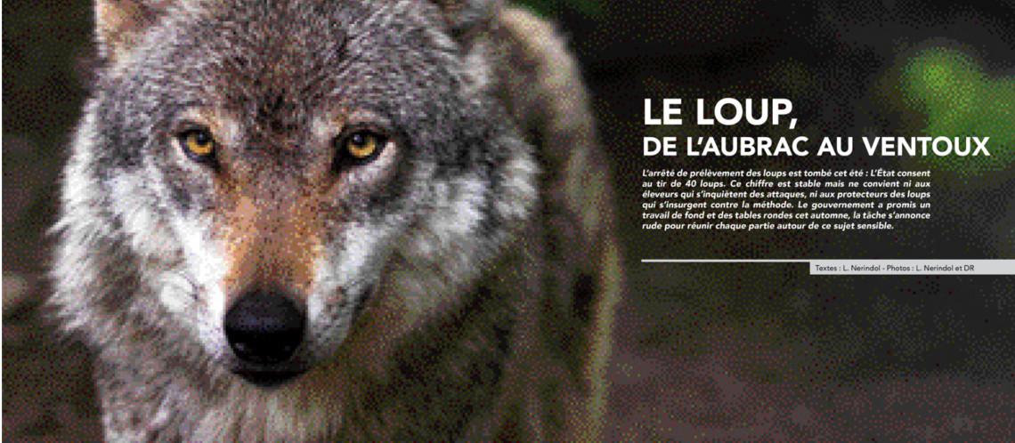 4 loups dans le massif Lure Ventoux